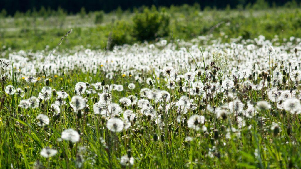 Wiese-Pollenflug